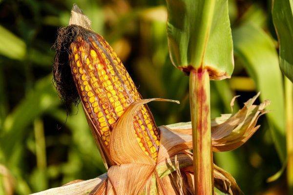 Festival del Mais e Cereali